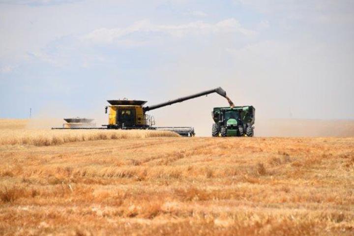 Combine unloading wheat onto grain card in wheat field.